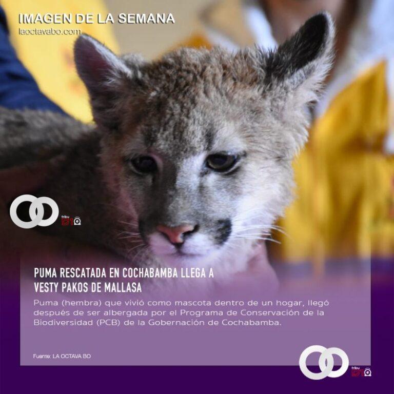 Puma rescatada en Cochabamba llega a Vesty Pakos de Mallasa