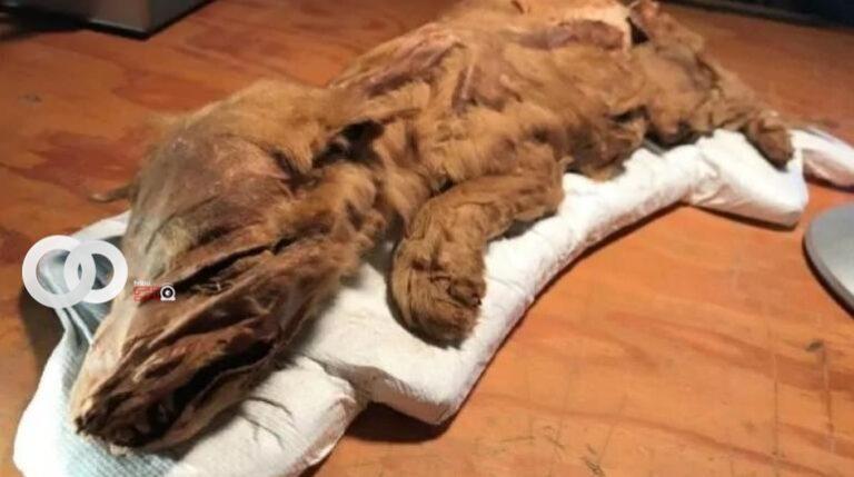 Cría de loba de hace más de 57 mil años es hallada en Canadá