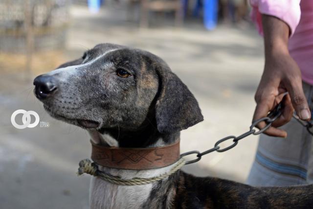 Sarail, un venerado perro en peligro de extinción