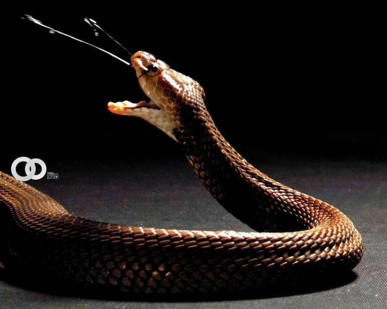 Estudios revelan evolución en el veneno de la cobra