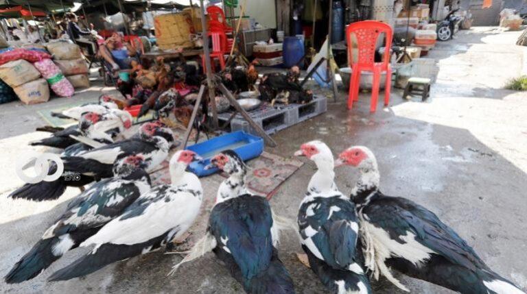 India: miles de aves de corral son sacrificadas debido a la gripe aviar