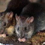 Descubren que ratones aprenden de los humanos a resolver problemas