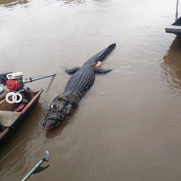 Matan a un caimán negro una especie en peligro de extinción