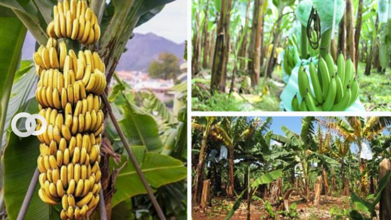 SENASAG pone plan de prevención para cuidar la producción bananera