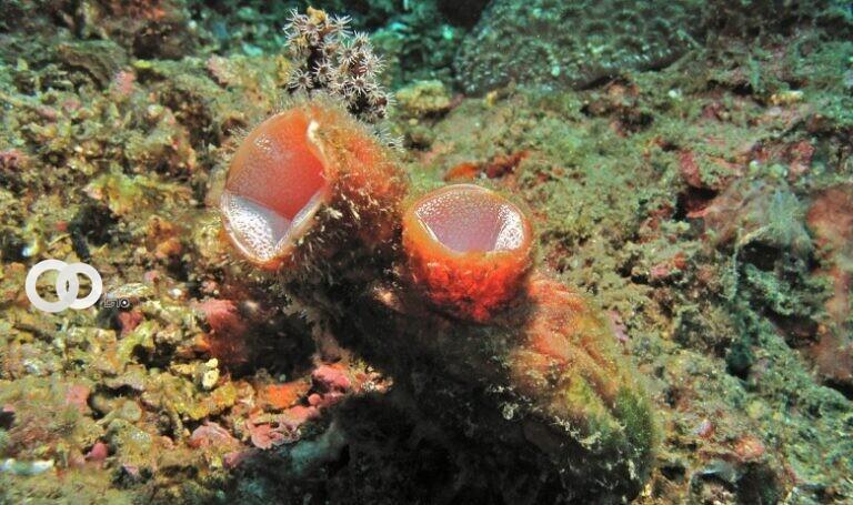 Polycarpa mytiligera, el animal marino capaz de regenerarse | Tel Aviv University