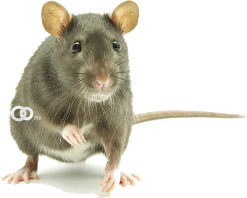 Descubren que ratones dominan la abstracción y el pensamiento complejo