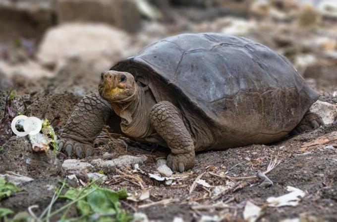 Tortuga extinta de hace 100 años es hallada en Galapos
