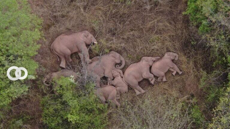 Manada de Elefantes viajando por China