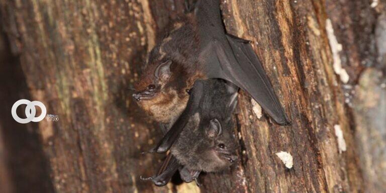 Descubren que crías de murciélagos balbucean al igual que bebés humanos