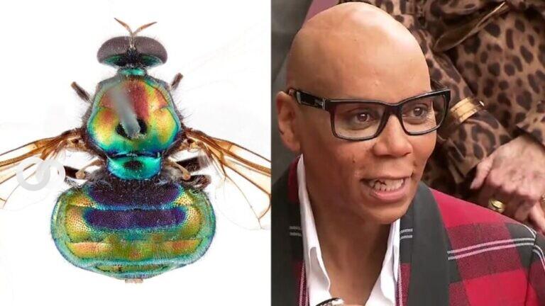Agencia Nacional de Ciencia australiana nombra a una mosca en honor a RuPaul