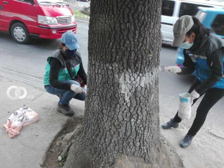 En zonas de Achumani y Calacoto se pintó 1.500 árboles con cal