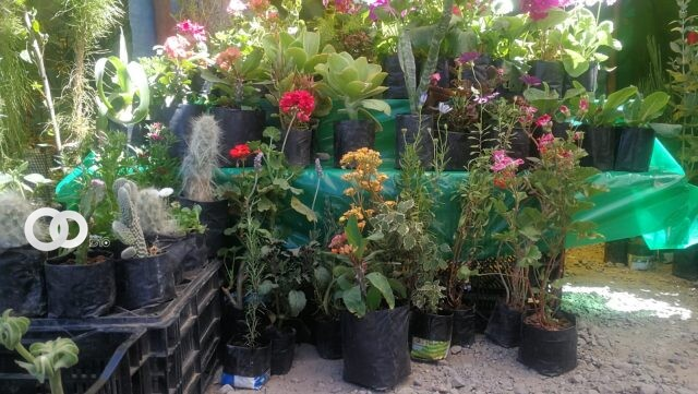 400 arbolitos fueron reforestados en urbanizaciones de El Alto