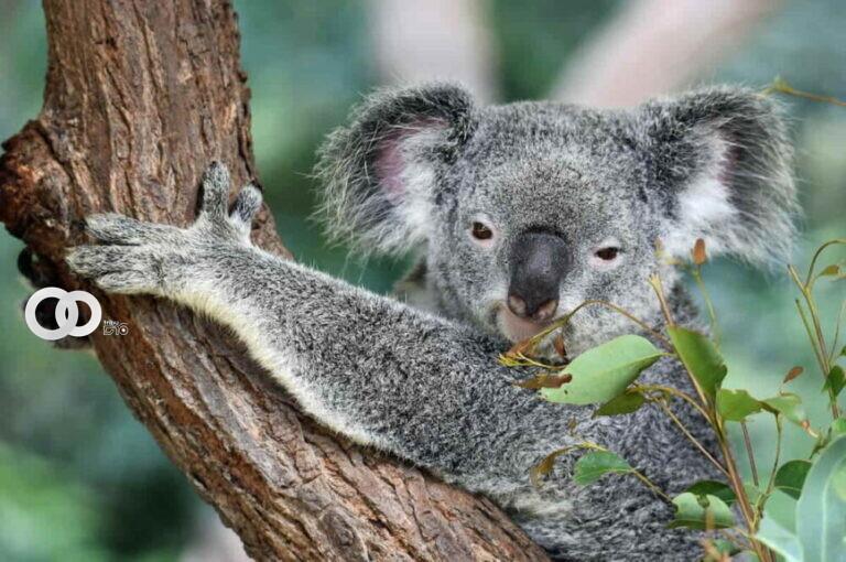 Usan drones con reconocimiento facial para monitorear las poblaciones de koalas